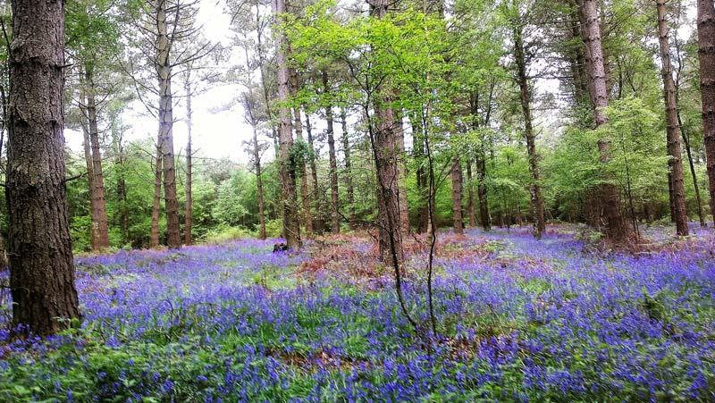 Bluebells in Ashdown Forest