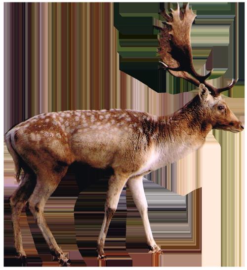Deer from Ashdown Forest