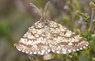 Common Heath moth on Ashdown Forest